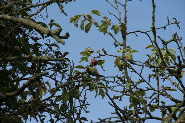 musvit-in-tree-2