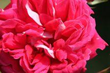 rose-2-2