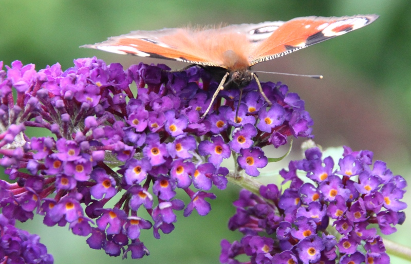 sommerfuglbusk-2